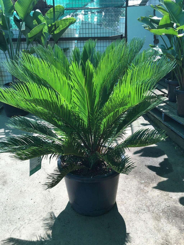 sago palm cycad revoluta westlake nursery