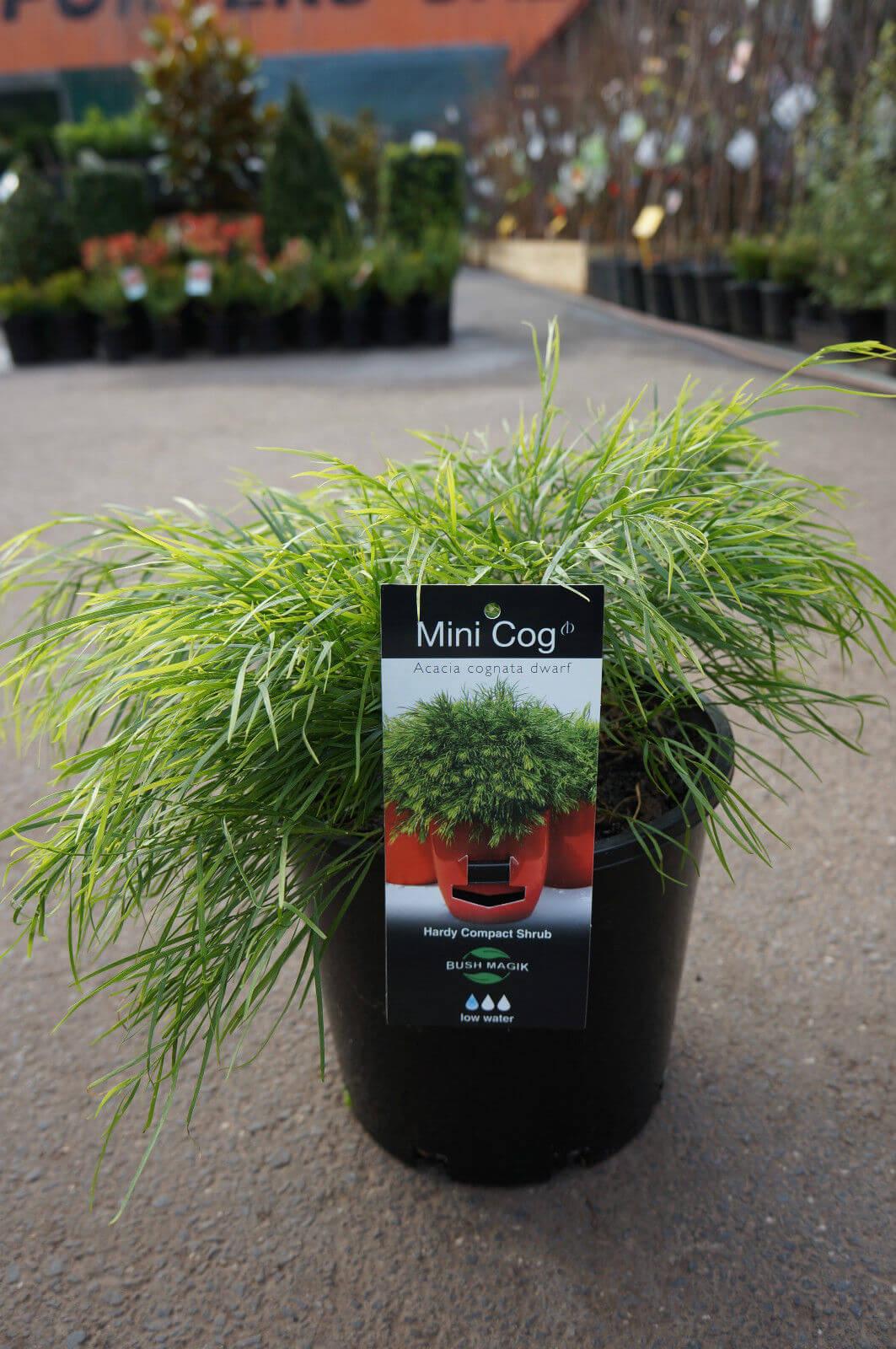 Acacia Cognata Mini Cog Westlake Nursery