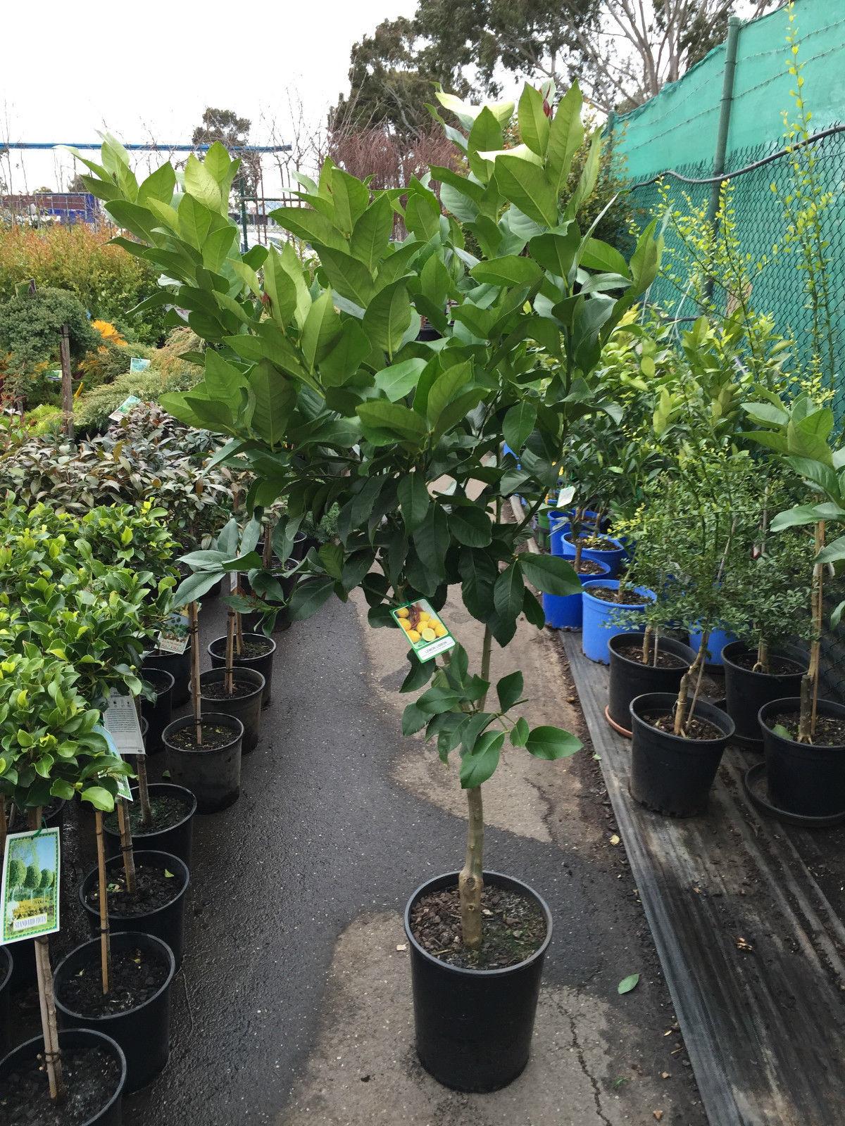Lemon Tree Lisbon Westlake Nursery