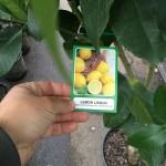 Lemon-Tree-Lisbon-03