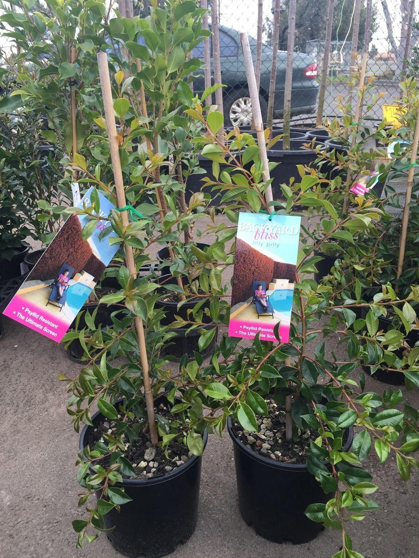 Lilly Pilly Backyard Bliss 200mm pot  Westlake Nursery