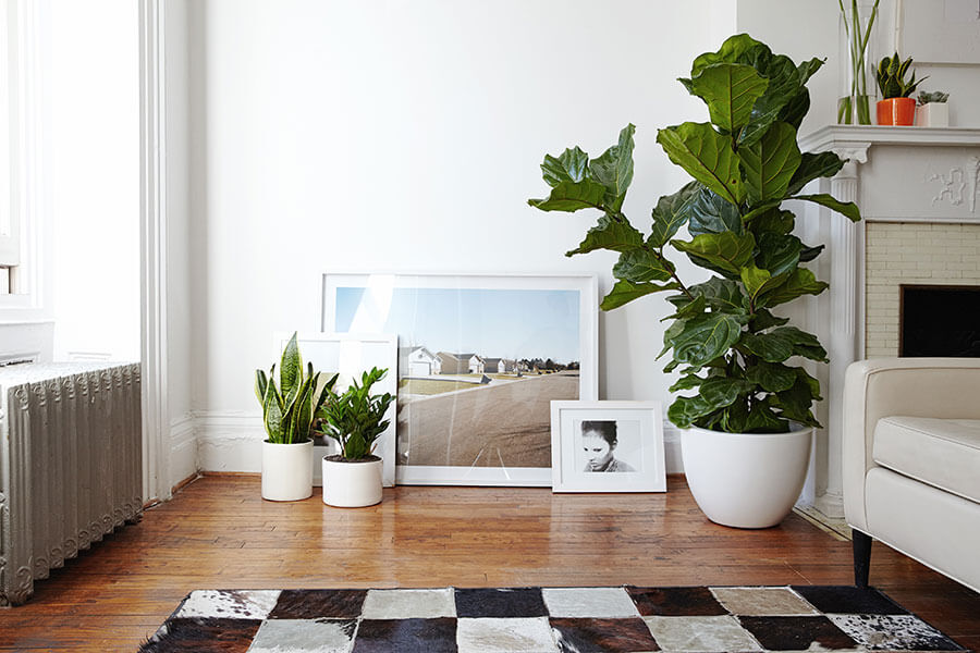 Year Of The Fiddle Leaf Fig Westlake Nursery: large living room plants