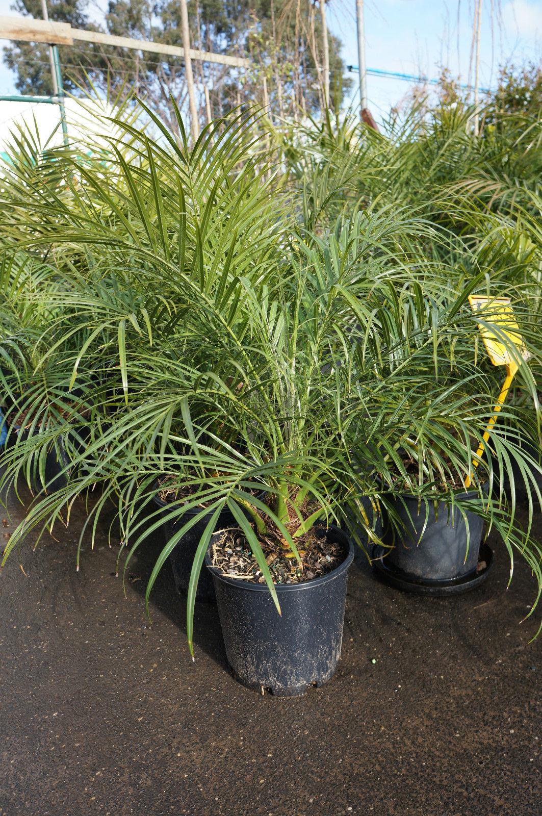 Dwarf Date Palm | Flickr - Photo Sharing!
