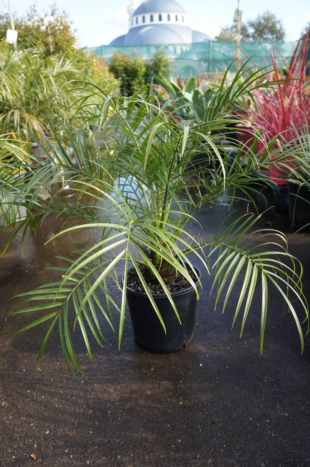 Phoenix Roebelenii - Pygmy Date Palm | Jardin de Mariposas | Pinterest