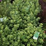 Pittosporum Green Pillar