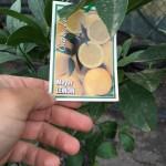 Lemon Tree Meyer