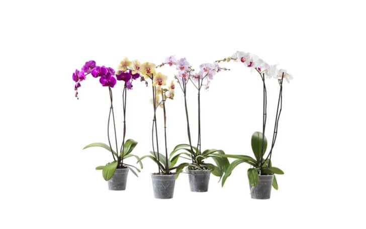 How To Care For Your Phalaenopsis Orchid Westlake Nursery