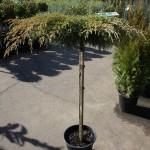 Cupressus macrocarpa Greenstead Magnificent