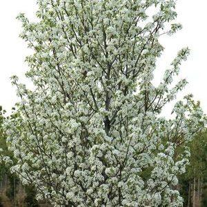 Evergreen/Ornamental