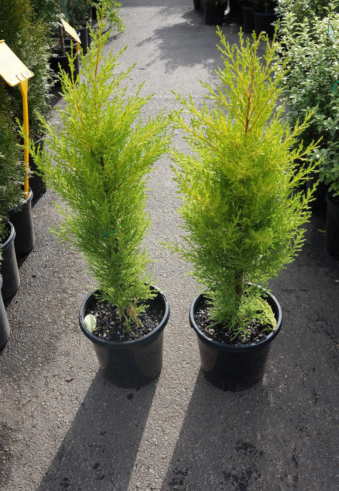 Conifer Lemon Scent Westlake Nursery