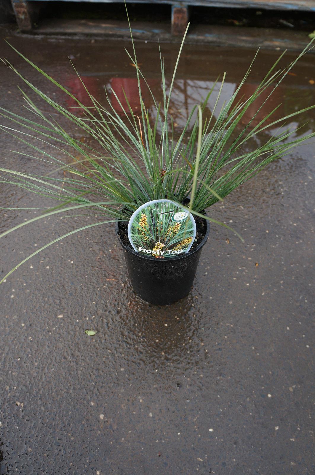 lomandra frosty top