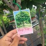 Catalpa Bignonioides Mop Top