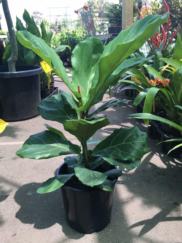 Ficus Lyrata Fiddle Leaf Fig Westlake Nursery