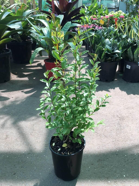 ligustrum undulatum u0027box leaved privet u0027 westlake nursery