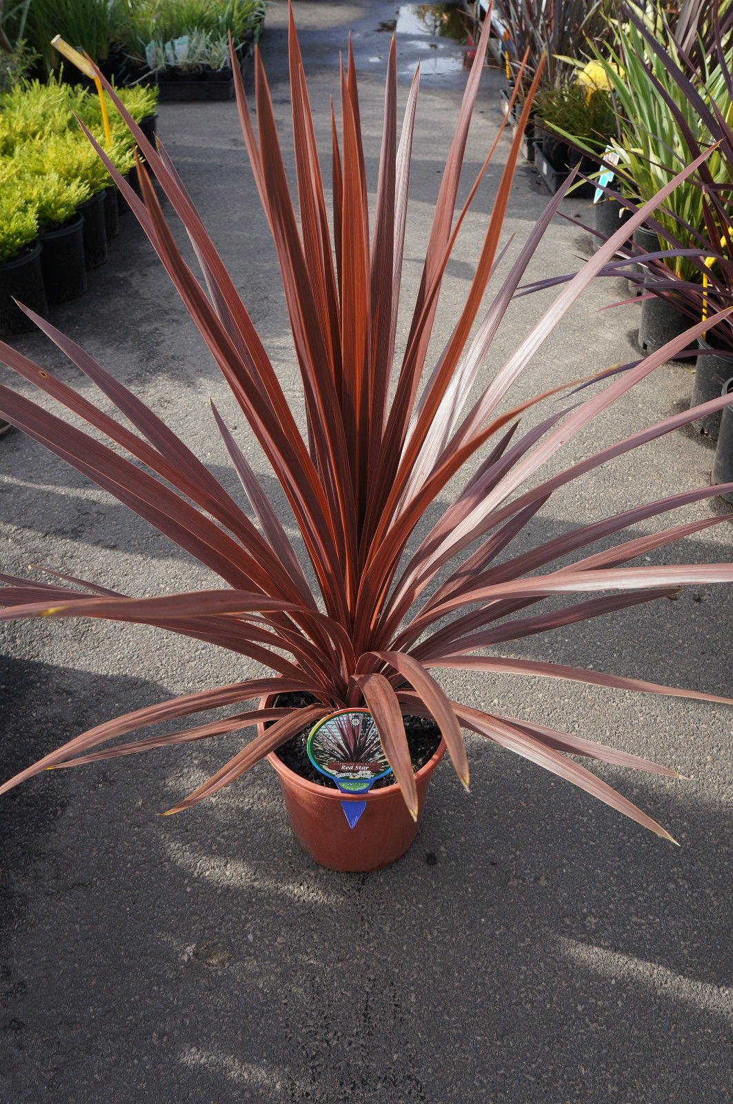 Tropical Red Star Grass 38
