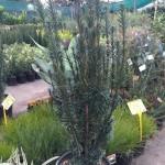 Japenese Plum Yew