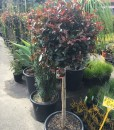 Standard Big Red Lilly Pilly