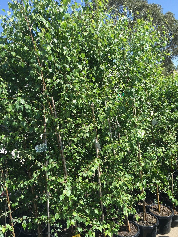 Picture of Live European White Birch aka Betula alba multi Plant Fit 5 Gallon Pot