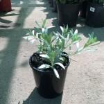 Convolvulus cneorum 'Silver Bush'