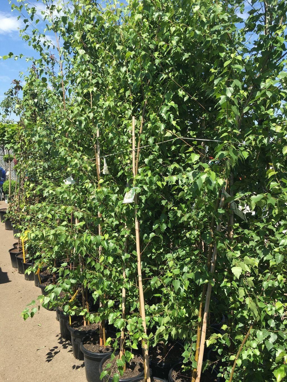 Betula Pendula Alba Silver Birch Westlake Nursery