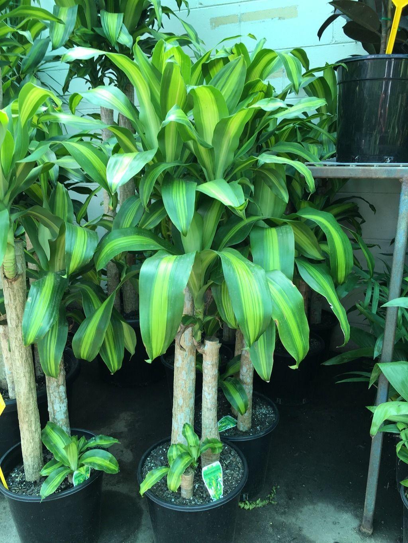 dracaena fragrans massangeana happy plant 250mm pot. Black Bedroom Furniture Sets. Home Design Ideas