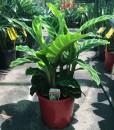 Calathea zebrine – Zebra Plant