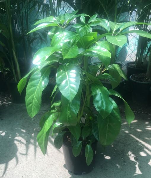 Schefflera 'Amate' Jnr Umbrella Tree