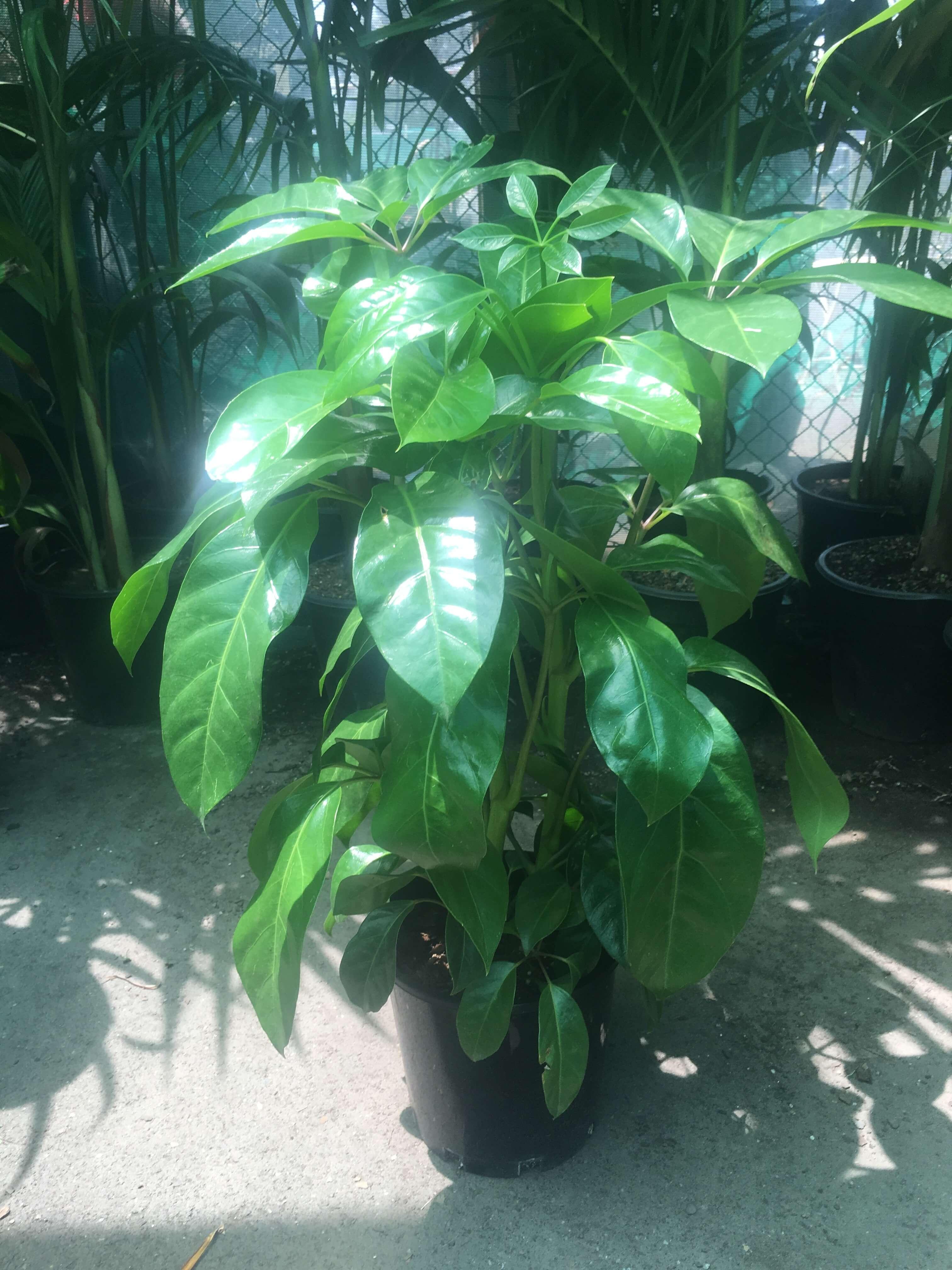 Schefflera Amate Jnr Umbrella Tree Westlake Nursery