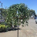 Weeping Cherry 'Cheals'