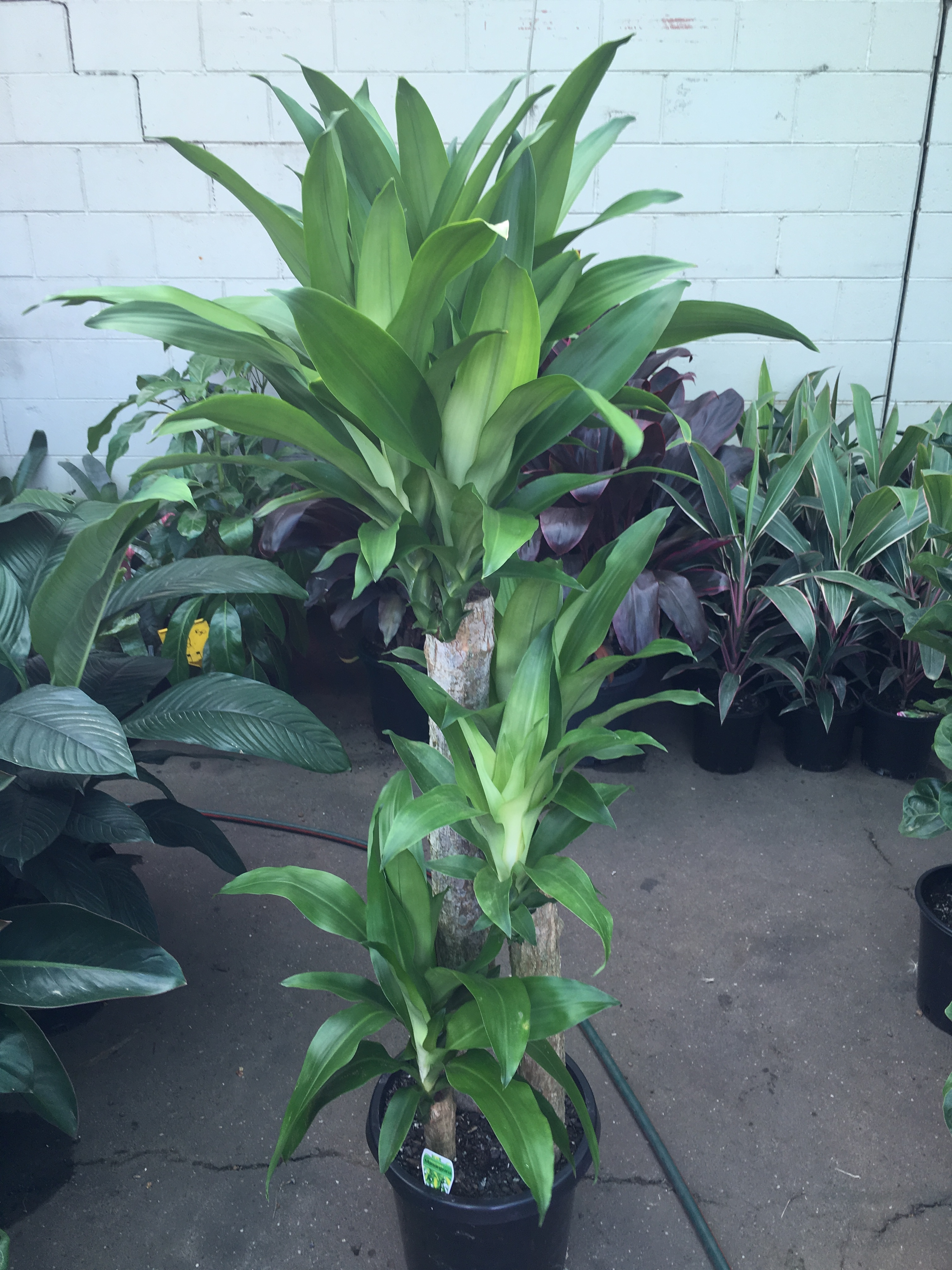 dracaena fragrans massangeana happy plant green. Black Bedroom Furniture Sets. Home Design Ideas