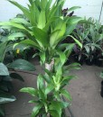 Dracaena fragrans 'Massangeana' (Happy Plant)