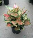 Aglaonema Coloured