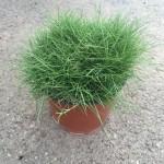 Zoysia Tenuifolia – No Mow Lawn