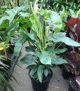 Philodendron Panduriforme Totem