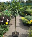 Standard Bay Tree