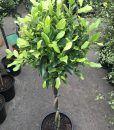 Ficus Emerald (Double Platted)