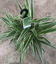 Chlorophytum Ocean (Spider Plant)
