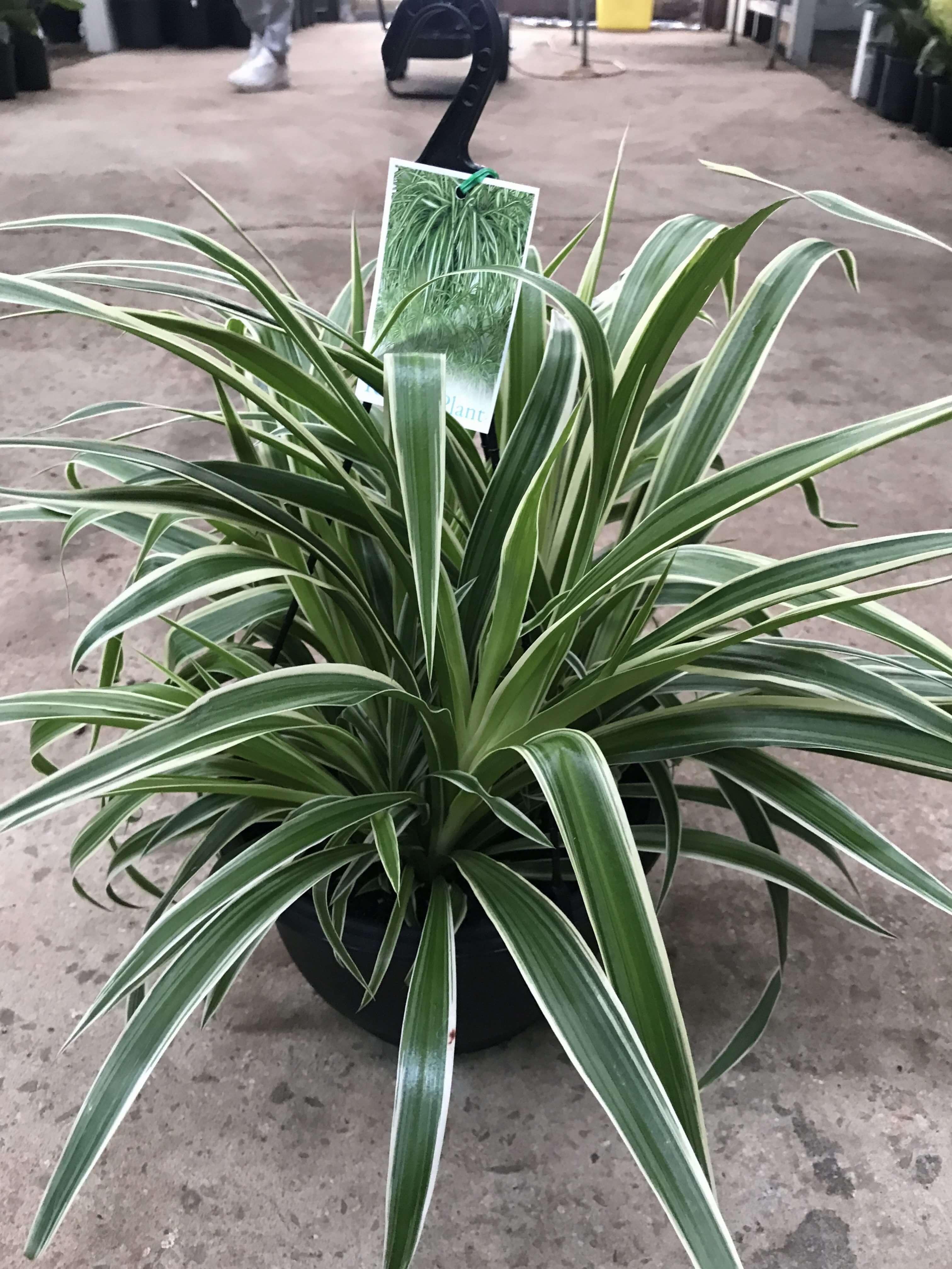 chlorophytum ocean spider plant westlake nursery. Black Bedroom Furniture Sets. Home Design Ideas