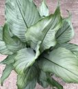 Spathiphyllum Platinum Mist
