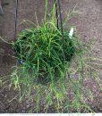 Rhipsalis campos portoana