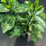 Aucuba Gold Dust Plant