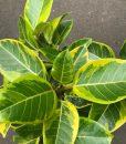 Ficus Lemon N Lime