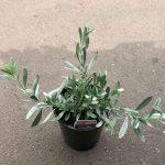 Silver Bush
