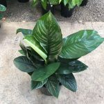 Spathiphyllum 'Sensation Mini'