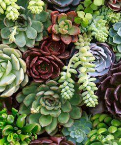 Succulents/Cacti